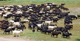 A large flock of sheep Stock Photos