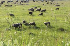 A large flock of sheep and cows. Stock Image