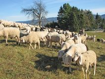 Large flock of sheep and goats grazing Stock Photos
