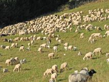 Large flock of sheep and goats grazing in the mountains Royalty Free Stock Photography