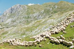 Large flock of sheep grazing on a rocky mountain meadow royalty free stock image