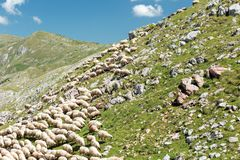 Large flock of sheep grazing on a rocky mountain meadow royalty free stock photos