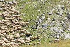Large flock of sheep grazing on a rocky mountain meadow stock image