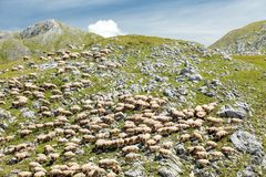 Large flock of sheep grazing on a rocky mountain meadow royalty free stock photography