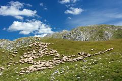 Large flock of sheep grazing on a rocky mountain meadow stock images