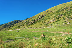 A large flock of sheep on the hillside, Kyrgyzstan. Stock Photo