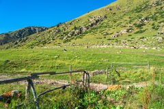 A large flock of sheep on the hillside, Kyrgyzstan. Stock Images
