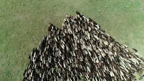 Large flock of sheep. A large sheep flock on a pasture, proizvodstvo shersti stock video footage