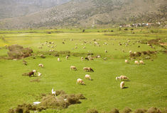 Large flock of sheep Royalty Free Stock Images