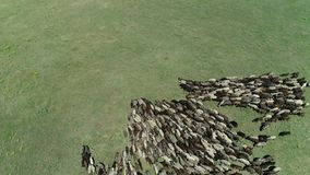Large flock of sheep. A large sheep flock on a pasture, proizvodstvo shersti stock footage