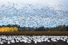 Large flock of snow geese. Chen caerulescens, in flight and in plowed field Royalty Free Stock Photos