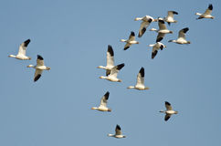 Large Flock of Snow Geese Flying in a Blue Sky Stock Photos