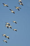 Large Flock of Snow Geese Flying in a Blue Sky Royalty Free Stock Photos