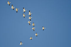 Large Flock of Snow Geese Flying in a Blue Sky Stock Photography
