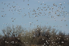 Large Flock of Snow Geese Landing in the Marsh Royalty Free Stock Photo
