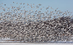 Large flock of snow geese taking off. Royalty Free Stock Photos