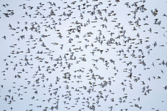 Large flock of songbirds in flight Stock Images