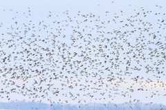 Large flock songbirds fly among the dark sky Royalty Free Stock Photo