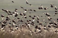 A large flock of starlings against the backdrop of a green field Royalty Free Stock Photo