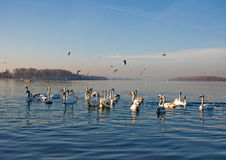 Large flock of swans on the Danube River Royalty Free Stock Image