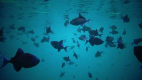 A large flock of triggerfish. Floats on the water surface stock video footage