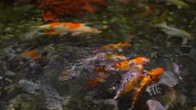 A large flock of trout fish feeds in water. 1 stock video footage