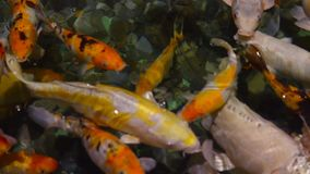 A large flock of trout fish feeds in water. 1 stock video