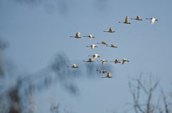 Large Flock of Tundra Swans Flying Over the Marsh Stock Image