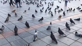 Large flock of urban pigeons walking on a city square. A large flock of urban pigeons walking on a city square stock video footage