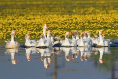 A large flock of white domestic geese swiming on the lake Royalty Free Stock Images