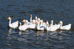 A large flock of white geese swimming Royalty Free Stock Image