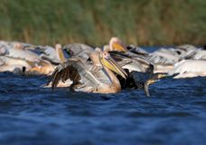 A large flock of white pelicans and cormorants together catching fish stock image