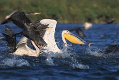 A large flock of white pelicans and cormorants together fish stock image