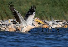 A large flock of white pelicans and cormorants together fish royalty free stock photo