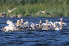 A large flock of white pelicans stock image