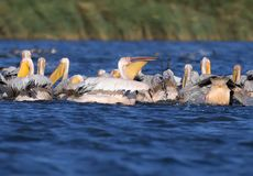 A large flock of white pelicans together hunt fish stock images