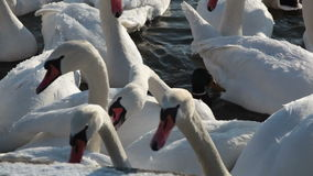 large flock of white swans stock footage