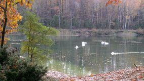 Large flock of white swans. A large flock of white swans resting on the lake stock video