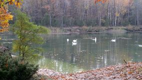 Large flock of white swans. A large flock of white swans resting on the lake stock footage
