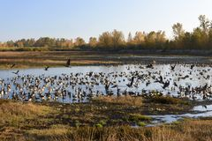 Large Flocks of Canadian Geese Resting and Staging During Their Annual Autumn Migration. Large Flocks of Canadian Geese Resting and Staging Royalty Free Stock Images