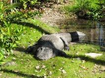 Large Florida Aligator Stock Photography