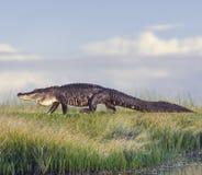 Large Florida Alligator Stock Photos