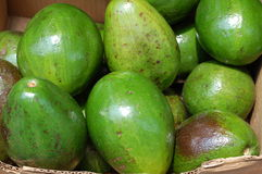 Large Florida Avocados for Sale Royalty Free Stock Photography