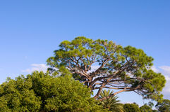 Large florida pine tree Stock Photo