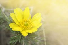 A large flower of Adonis vernalis on the background of the spring meadow.  stock photography