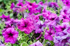 Large flower bed with purple petunia. Large flower bed with bright purple petunia stock photography