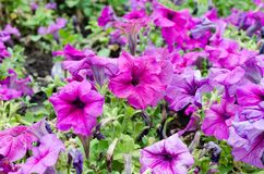 Large flower bed with purple petunia. Large flower bed with bright purple petunia royalty free stock image