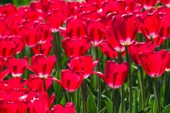 Large flower bed with pink tulips in the park. Stock Photography