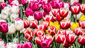 Large flower bed with pink, white, red-white, yellow tulips in the park. Royalty Free Stock Image