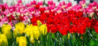 Large flower bed with red, yellow and pink tulips in the park. Royalty Free Stock Image
